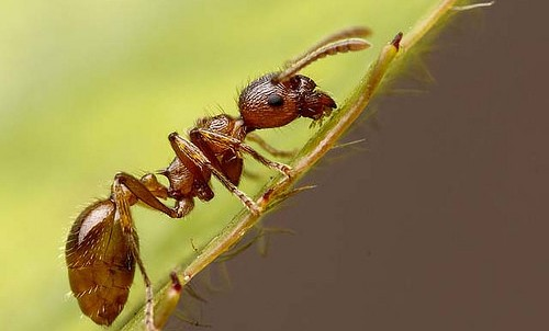 Small victory in fire ant fight