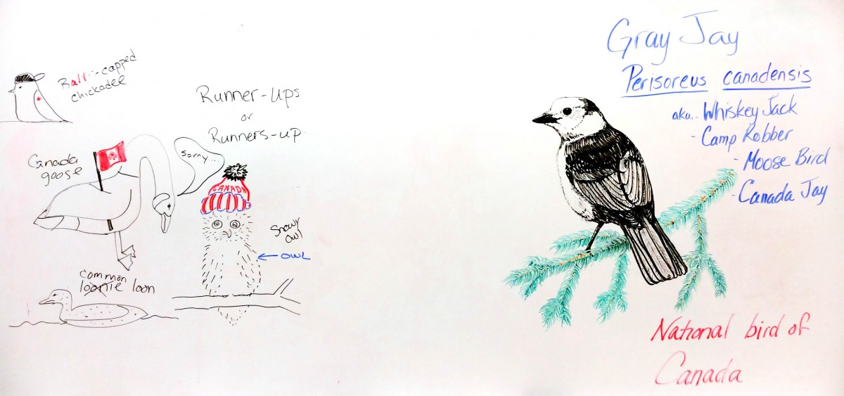 gray-jay-drawing-normal-steve-joly_edit_full-picture