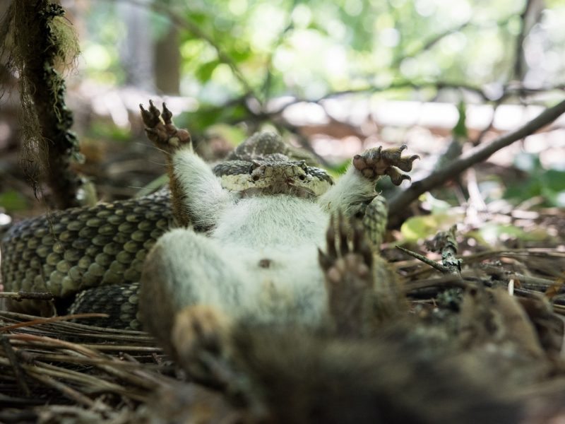 A western rattlesnake eating a squirrel