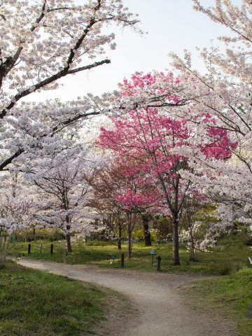 An image of cherry blossoms in Kyoto