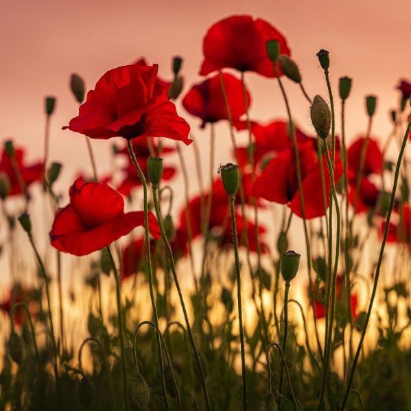 Poppy fields to represent Remembrance Day